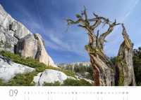 Wacholderbaum, Yosemite Nationalpark (California)