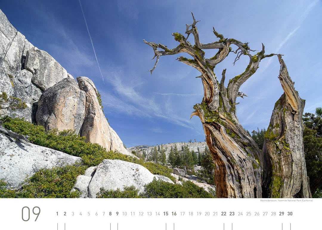 Wacholderbaum, Yosemite Nationalpark (California)
