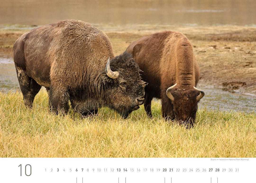 Bisons im Yellowstone Nationalpark (Wyoming)