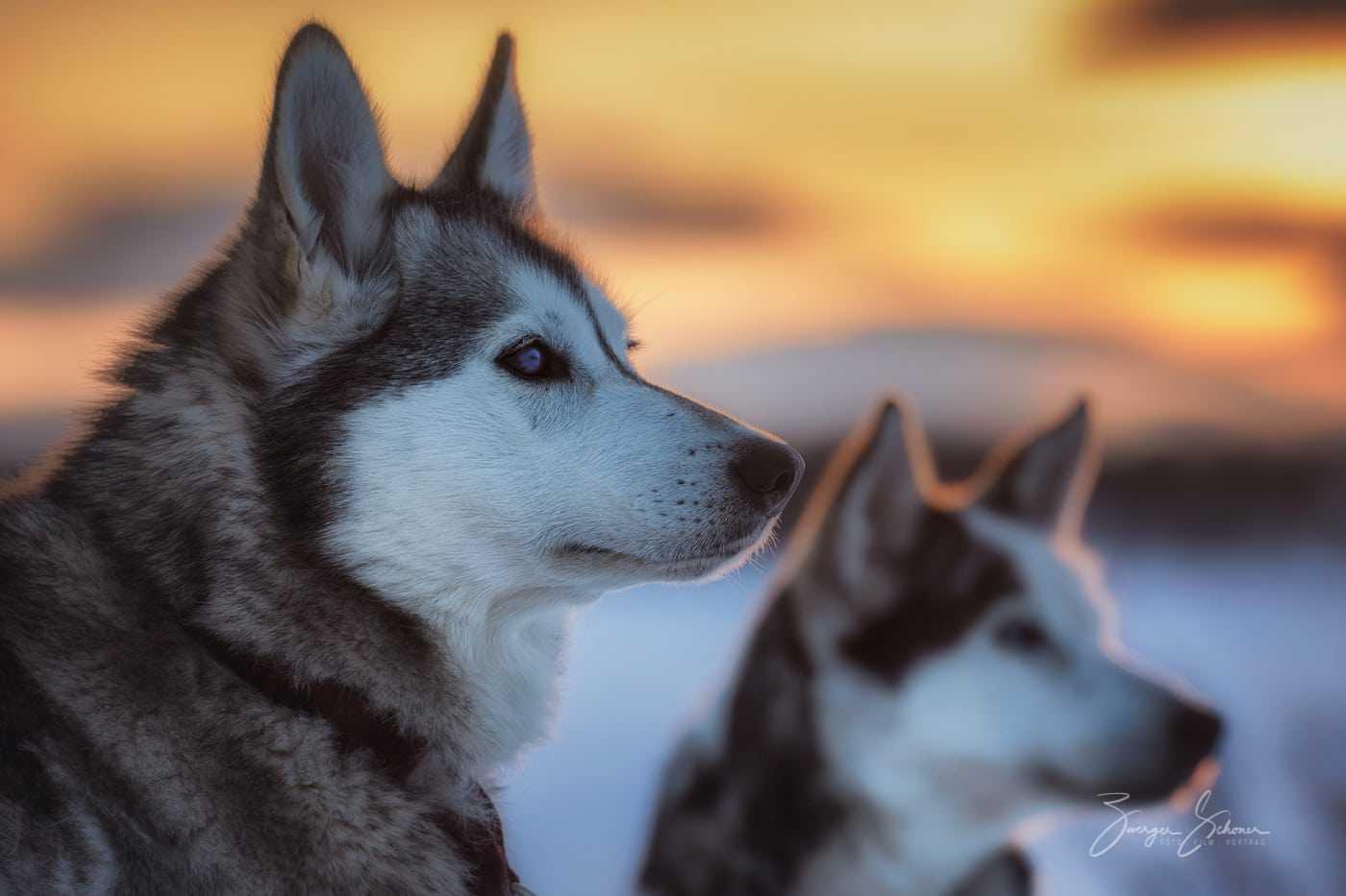Alaskan Husky, Malamute