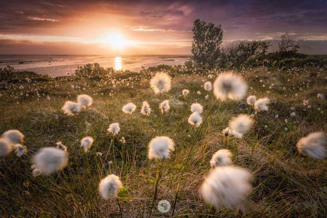 Das Wollgras blüht in Norwegen (c) Zwerger-Schoner
